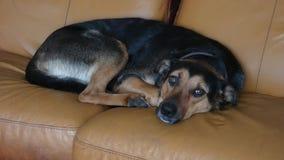 Schutz Dog Waking oben und Alarm stock footage