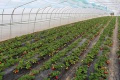 Schutz hat gereift und ist nicht schon reife Erdbeere Lizenzfreies Stockbild