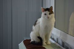 Schutz-Katze - schöne Shorthair-Miezekatze Lizenzfreies Stockbild