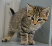 Schutz-Katze - Shorthair Tabby Kitten lizenzfreie stockfotografie