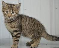 Schutz-Katze - Shorthair Tabby Kitten lizenzfreies stockbild