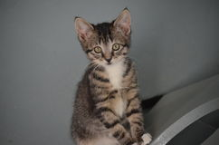 Schutz-Katze - Shorthair Tabby Kitten lizenzfreies stockfoto