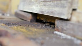 Schutzbienen, die den Eingang zum Bienenstock schützen stock footage
