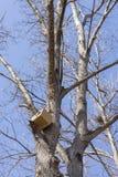 Schutzeichhörnchen stockbild