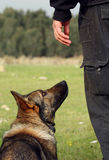 Schutzhund Obedience. German sheperd in obedience practice  wating for me to say what next Stock Photography