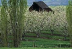 Schuur in een appelboomgaard in de lente Stock Afbeelding