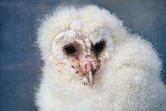Schuur Owl Chick Stock Afbeeldingen