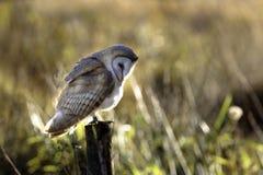Schuur Owl Posing Royalty-vrije Stock Afbeeldingen