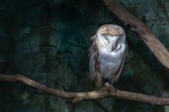 Schuuruil Tyto alba op een toppositie royalty-vrije stock afbeelding
