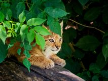 Schuw lynxkatje die de wereld van een verbergende plaats waarnemen stock foto's