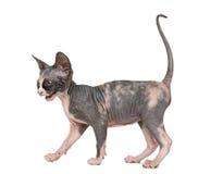 Schuw Sphynx-en katje die lopen mauwen royalty-vrije stock afbeeldingen