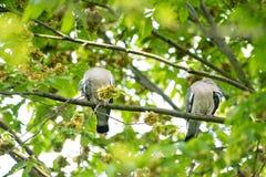 Schuwe houten duiven in boom verbergende hoofden Stock Foto