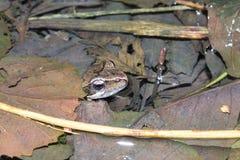 Schuwe kikker (Rana-latastei): het wachten in het fokkenplaats Stock Foto's