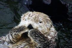 Schuwe Otter Royalty-vrije Stock Foto's