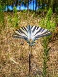 Schuwe Vlinder Royalty-vrije Stock Afbeeldingen