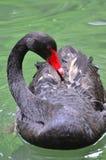 Schuwe zwarte zwaan Stock Afbeelding