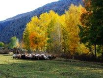 Schwägerinschafe, kleine Bauernhöfe, das Tal, Birke, Altai-donggou Landschaft Stockbild