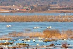 Schwäne über einem See am Frühling Stockbild