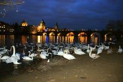 Schwäne auf dem die Moldau-Fluss Stockfoto