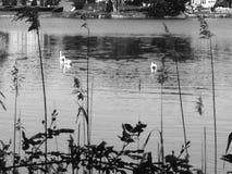 Schwäne auf dem Fluss Lizenzfreies Stockbild