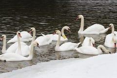 Schwäne auf dem Fluss am Wintertag Stockfotos
