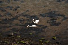 Schwäne auf dem Meer Stockfotos