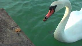 Schwäne auf dem See stock footage
