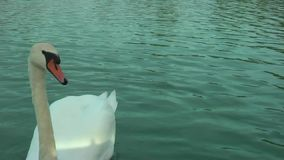 Schwäne auf dem See stock video footage