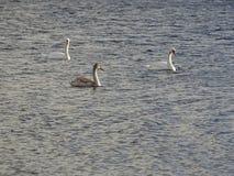 Schwäne auf dem See stockfoto