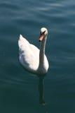 Schwäne auf dem See, Jahr 2008 Lizenzfreies Stockbild