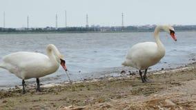 Schwäne auf dem Ufer stock video