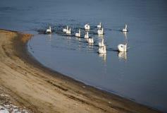 Schwäne auf Fluss Donau Stockfoto