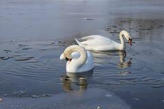 Schwäne auf gefrorenem See Stockfotos