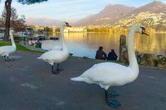 Schwäne auf Promenade, Lugano Lizenzfreie Stockfotografie