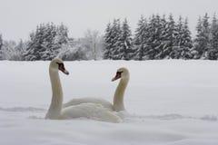 Schwäne auf Schnee Stockfotografie