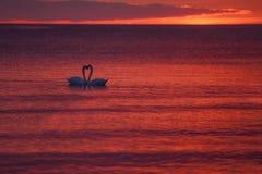 Schwäne bei Sonnenuntergang Stockfoto