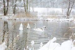 Schwäne in der Winterzeit Lizenzfreie Stockfotos