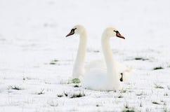 Schwäne, die auf dem Gebiet des Schnees sitzen Lizenzfreies Stockbild
