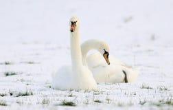 Schwäne, die auf dem Gebiet des Schnees sitzen Lizenzfreie Stockfotos