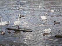 Schwäne, die auf einen Fluss schwimmen stockfotos