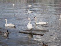Schwäne, die auf einen Fluss schwimmen lizenzfreie stockbilder
