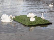 Schwäne, die auf einen Fluss schwimmen stockfoto