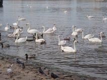 Schwäne, die auf einen Fluss schwimmen lizenzfreie stockfotos