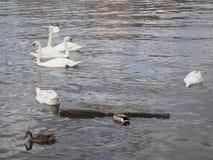 Schwäne, die auf einen Fluss schwimmen lizenzfreies stockfoto