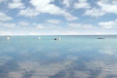 Schwäne, die auf ruhigem Wasser schwimmen Stockbild