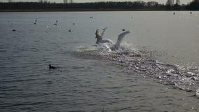 Schwäne, die auf Wasser landen stock footage