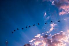 Schwäne, die in den Himmel fliegen Lizenzfreie Stockfotos