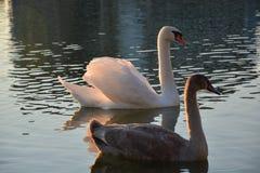 Schwäne, die in einem sonnigen See baden Lizenzfreie Stockfotografie