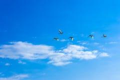 Schwäne, die in einen blauen Himmel mit Wolken fliegen Stockfoto