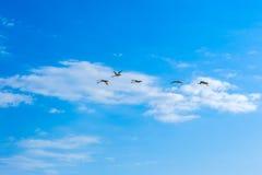 Schwäne, die in einen blauen Himmel mit Wolken fliegen Stockbild